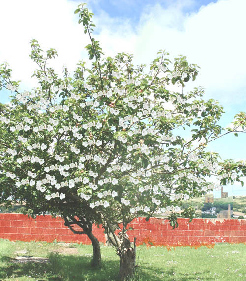 Pasty tree in flower